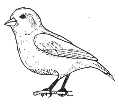 Finch Coloring Page